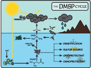 DMSP Cycle